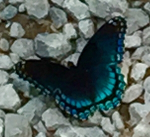 A butterfly landed in my path one day.